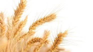 Ci nutriamo di organismi geneticamente modificati, da sempre